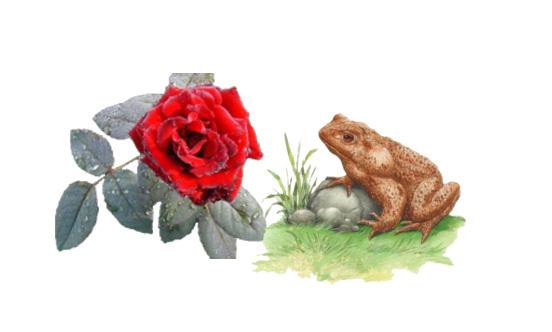 rosa e o sapo